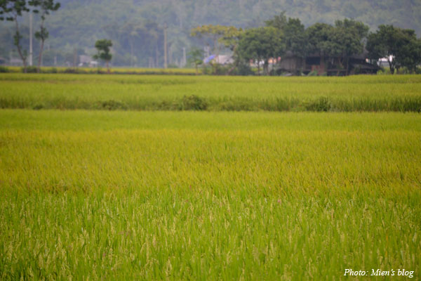The rice paddy fields are ripening. I love the scent on the way!