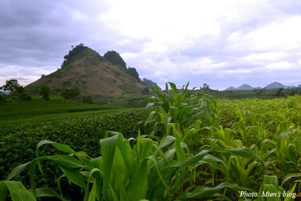 Moc-Chau-Tea-Plant-2