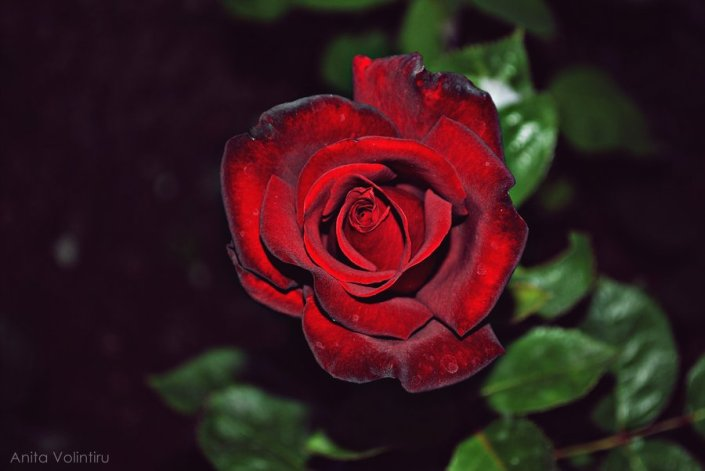 velvet_rose_by_rouge07